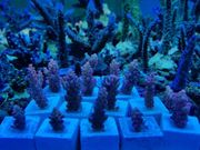 Korallen Ableger Anemone