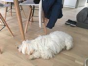 Tibet Terrier 1,