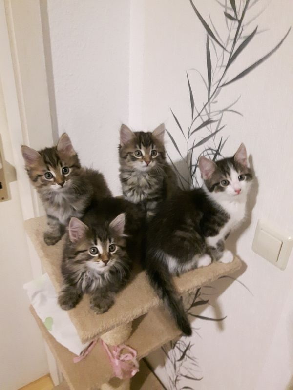 Katzenbabys - Leimen - MischlingskatzeKatzenbabyBaby Katzen suchen ein neues zu Hause. Bei interesse gerne Anrufen/WhatsApp: 017684079651. Weitere Angaben: männlich & weiblich, aus Zucht. - Leimen