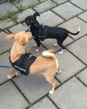 2 wunderschöne Chihuahua Rüden suchen