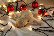 Wunderschöne Labradorwelpen aus