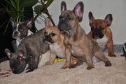 Bildschöne Französische Bulldoggen Welpen in