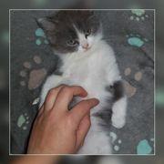Ragdoll Perser Kitten,
