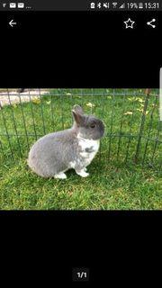 Farbenzwerg Rammler kastriert Kaninchen Zwergkaninchen