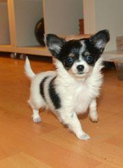 Annabel Chihuahua Welpe,