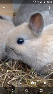 Zwergkaninchen Farbenzwerg Kaninchen