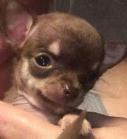 Drei Bezaubernde Schoko Mini Chihuahuas