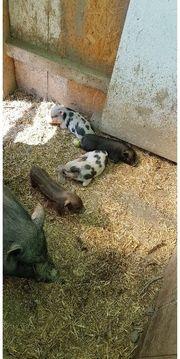 Minischweinferkel abzugeben