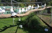 Weiße Pfautauben Rasse-Tauben