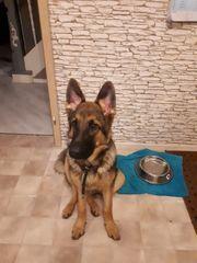 Schäferhund Rüde 7 Monate alt