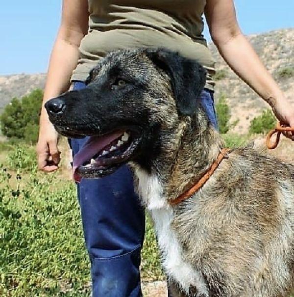 CHAPI - XXL-Schaf im Wolfspelz sucht