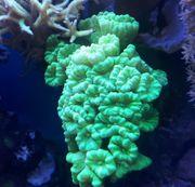 Meerwasser Calaustrea Koralle