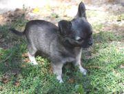 Süße Langhaar Chihuahua Welpen