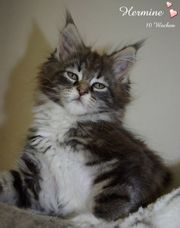 knuffige Maine Coon