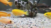malawi barsch Lapidochromis yellow