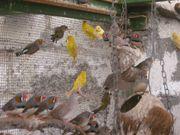 Kanarienvögel, Kanarien verschiedene