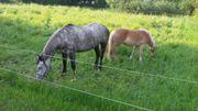 Pferde zu verkaufen