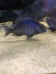 8x Delphin-Buntbarsche Cyrtocara moorii momentan