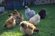 Junge total zutrauliche Zwergseidenhühner Hennen