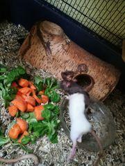 Ratten Jungtiere