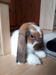 Kaninchen männlich Zwergwidder kastriert 12