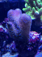 Meerwasser Milka SPS Koralle Ableger