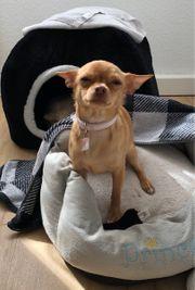 Chihuahua weiblich 10 Monate jung