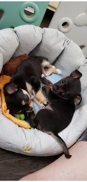 Chihuahua Welpen vom