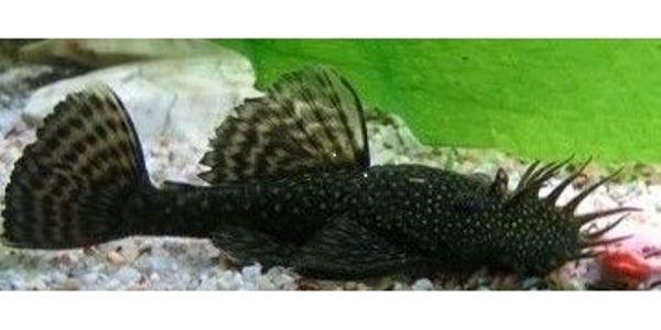 welse ancistrus kleinanzeigen aquaristik kaufen verkaufen bei deinetierwelt. Black Bedroom Furniture Sets. Home Design Ideas