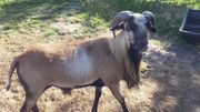 Kamerunschaf-Bock