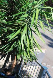 Yucca-Palme ca 2 5 m