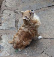 Sehr liebe und anhängliche Chihuahuahündin