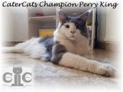Mainecoon Deckkater Champion Perry King