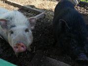 2 Minischweine geboren