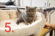 reinrassige Perser katze