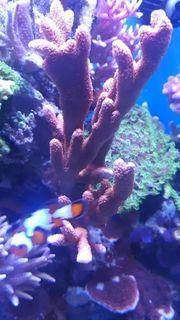Merwasser Montipora Samarensis