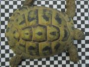 Griechische Landschildkröte abzugeben -