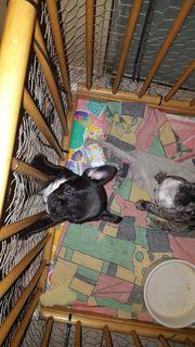 zuckersüße Knutschkugel Franz Bulldogge weiblich