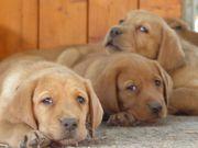 Labradorwelpen Rüden in foxred mit