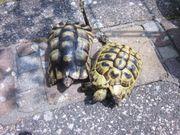 Griechische Landschildkröte und