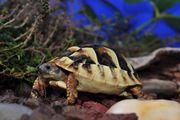 Griechische Land-Schildkröte