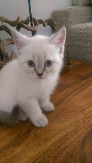 Kätzchen Siam/ Perser-