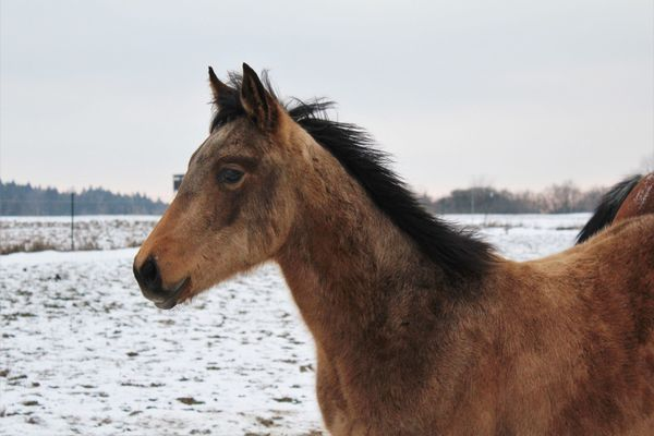 Quarter Horse Hengst Jährling mit top Charakter + Pedigree! in ...