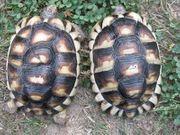 Breitrandschildkröten mit 300 Gramm