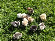 Zwergseidenhühner Küken