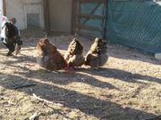 Zu verschenken 3 Orpington Hennen