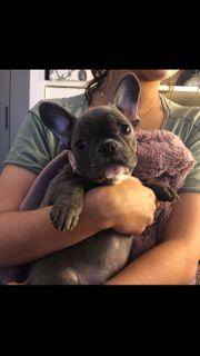 französische Bulldog Welpe Mädchen blau