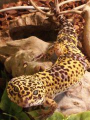 Schönes Leopardgecko Männchen