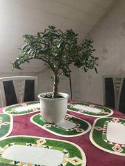 Geldpflanze Zimmerpflanze