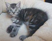Edelmix-Kitten BKH - Maine Coon